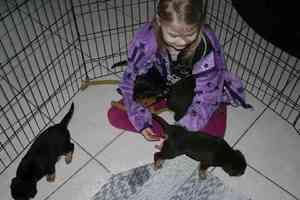 Kelpie Welpen und Kind